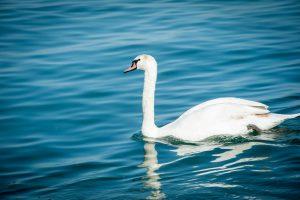 Mjøsas hvite svane